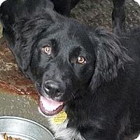 Adopt A Pet :: HERCULES - Gustine, CA
