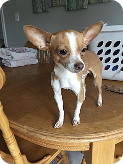 Chihuahua Dog for adoption in Flower Mound, Texas - Petrie
