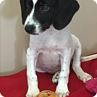 Pointer/Beagle Mix Puppy for adoption in Mt Sterling, Kentucky - Fancy