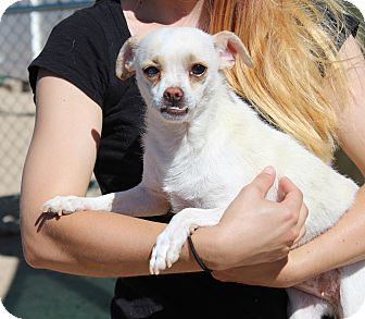 Chihuahua/Dachshund Mix Dog for adoption in Yucca Valley, California - Duchess Coconut Twist