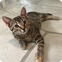 Burmese Kitten for adoption in Sarasota, Florida - Avon