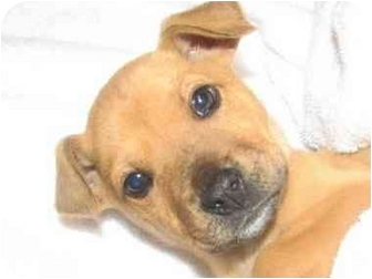 Dachshund/Chihuahua Mix Puppy for adoption in Upper Marlboro, Maryland - DIXON