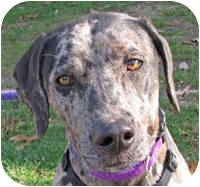 Catahoula Leopard Dog Mix Dog for adoption in Eatontown, New Jersey - Rylee
