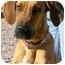 Photo 3 - Great Dane/Hound (Unknown Type) Mix Dog for adoption in Colorado Springs, Colorado - Dahlia