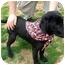 Photo 1 - Labrador Retriever Mix Dog for adoption in Dahlonega, Georgia - Web