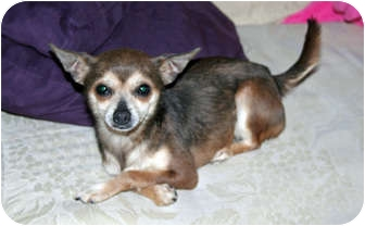 Chihuahua Dog for adoption in Westfield, Indiana - Daisy