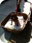Chihuahua Mix Puppy for adoption in Modesto, California - Rusty