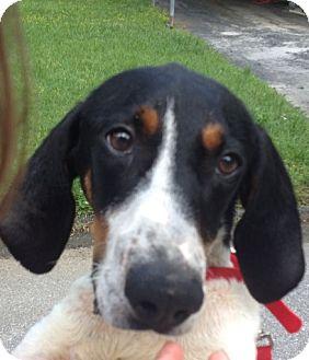Treeing Walker Coonhound Dog for adoption in Brattleboro, Vermont - Sam