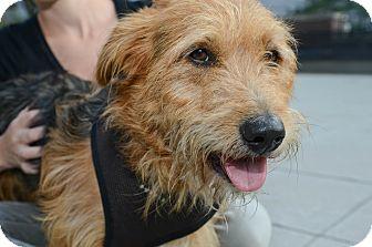 Terrier (Unknown Type, Medium) Mix Dog for adoption in New York, New York - Benson
