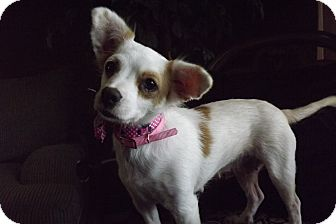 Papillon/Chihuahua Mix Dog for adoption in Fort Worth, Texas - RAE RAE