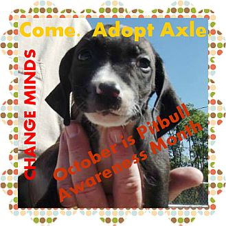 American Pit Bull Terrier Mix Puppy for adoption in Peru, Indiana - Axle