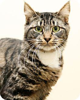 Domestic Mediumhair Kitten for adoption in Bellingham, Washington - Barbie