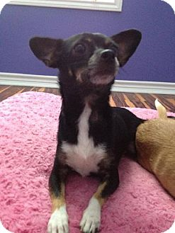 Chihuahua Dog for adoption in Olympia, Washington - Gypsy