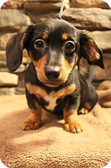 Dachshund/Chihuahua Mix Puppy for adoption in Hagerstown, Maryland - Cassie