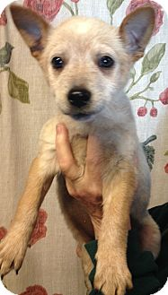 Blue Heeler Mix Puppy for adoption in Kansas city, Missouri - Reece