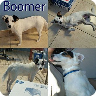 Jack Russell Terrier/Terrier (Unknown Type, Small) Mix Puppy for adoption in Phoenix, Arizona - Boomer
