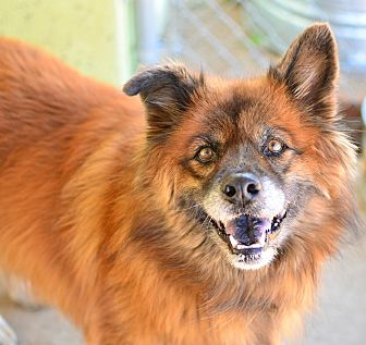 Chow Chow Mix Dog for adoption in Acton, California - Brownie