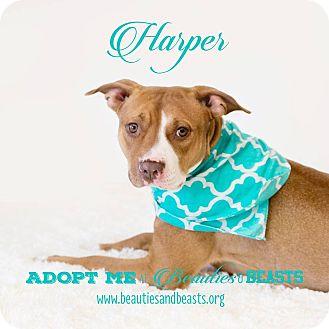 Pit Bull Terrier Mix Puppy for adoption in Wichita, Kansas - Harper