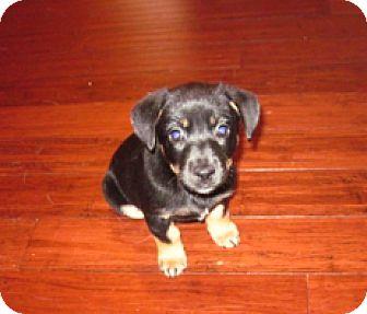 Terrier (Unknown Type, Medium) Mix Puppy for adoption in Huntsville, Alabama - Rosie