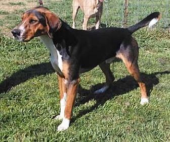 Treeing Walker Coonhound Dog for adoption in Seguin, Texas - Hank