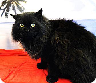 Domestic Longhair Cat for adoption in Buena Vista, Colorado - Esteban