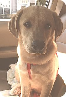 Golden Retriever/Labrador Retriever Mix Puppy for adoption in Pulaski, Tennessee - Charley