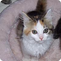Adopt A Pet :: Blossom - Richmond, VA