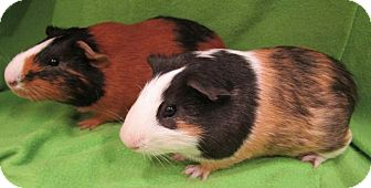 Guinea Pig for adoption in Highland, Indiana - Spearow