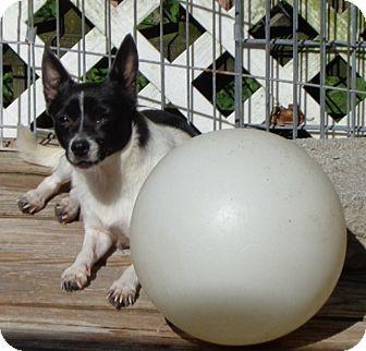 Chihuahua Dog for adoption in Festus, Missouri - #37 Abel in Missouri