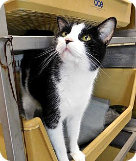 Domestic Shorthair Cat for adoption in St. Francisville, Louisiana - Kee Kee