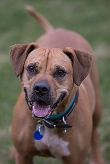 Boxer Mix Dog for adoption in Howell, Michigan - Lily