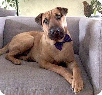 Rhodesian Ridgeback/Shar Pei Mix Dog for adoption in Morristown, New Jersey - Byron