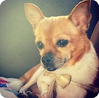 Chihuahua Mix Dog for adoption in New York, New York - Jackson