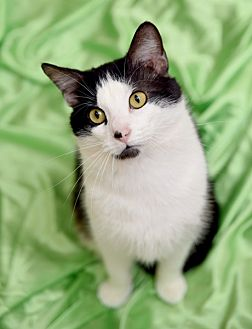 Domestic Shorthair Cat for adoption in Chattanooga, Tennessee - Cedric Diggory