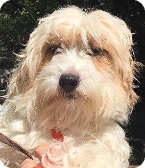 Dachshund/Poodle (Miniature) Mix Dog for adoption in Orlando, Florida - Bette