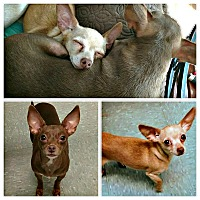 Adopt A Pet :: Pebbles and Penny -BONDED PAIR - Tijeras, NM