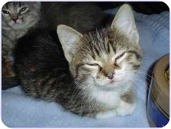 Domestic Shorthair Kitten for adoption in Sterling Heights, Michigan - Leia - ADOPTED!