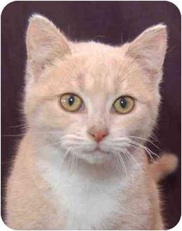 Domestic Shorthair Kitten for adoption in Mora, Minnesota - Kiki