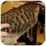 Photo 2 - Bengal Cat for adoption in Dallas, Texas - Bennie