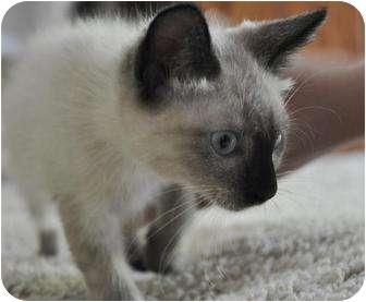 Ragdoll Kitten for adoption in Davis, California - Lamb Tail