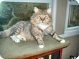 Maine Coon Cat for adoption in Chattanooga, Tennessee - Boots
