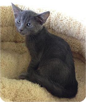 Russian Blue Kitten for adoption in Sugar Land, Texas - -Misty