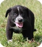 Border Collie/Labrador Retriever Mix Puppy for adoption in Allentown, Pennsylvania - Sando