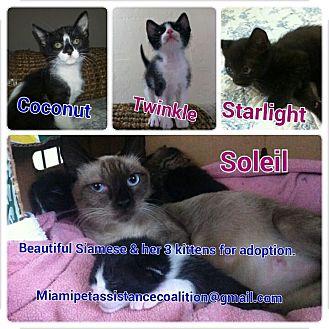 Siamese Kitten for adoption in Miami, Florida - Soleil & 3 kittens