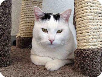 Domestic Shorthair Cat for adoption in Mission Viejo, California - Smalls