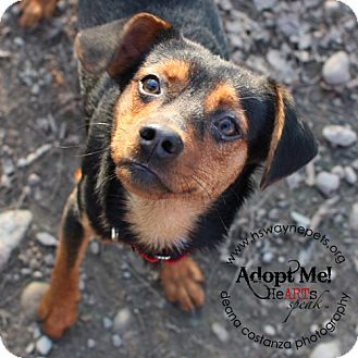 Manchester Terrier/Beagle Mix Dog for adoption in Lyons, New York - Matrix