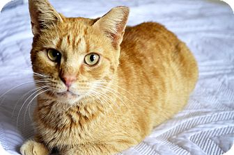 Domestic Shorthair Cat for adoption in Xenia, Ohio - Pumpkin