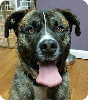 Boxer/Akita Mix Dog for adoption in Lisbon, Ohio - Lincoln