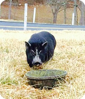 Pig (Potbellied) for adoption in Chalfont, Pennsylvania - Ruby