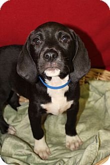 Beagle Mix Puppy for adoption in Waldorf, Maryland - Fisher